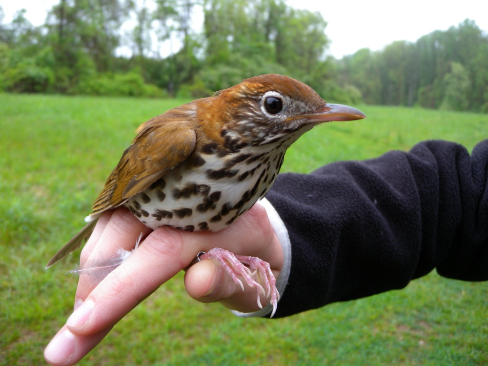 Wood Thrush.  Photo by Blake Goll