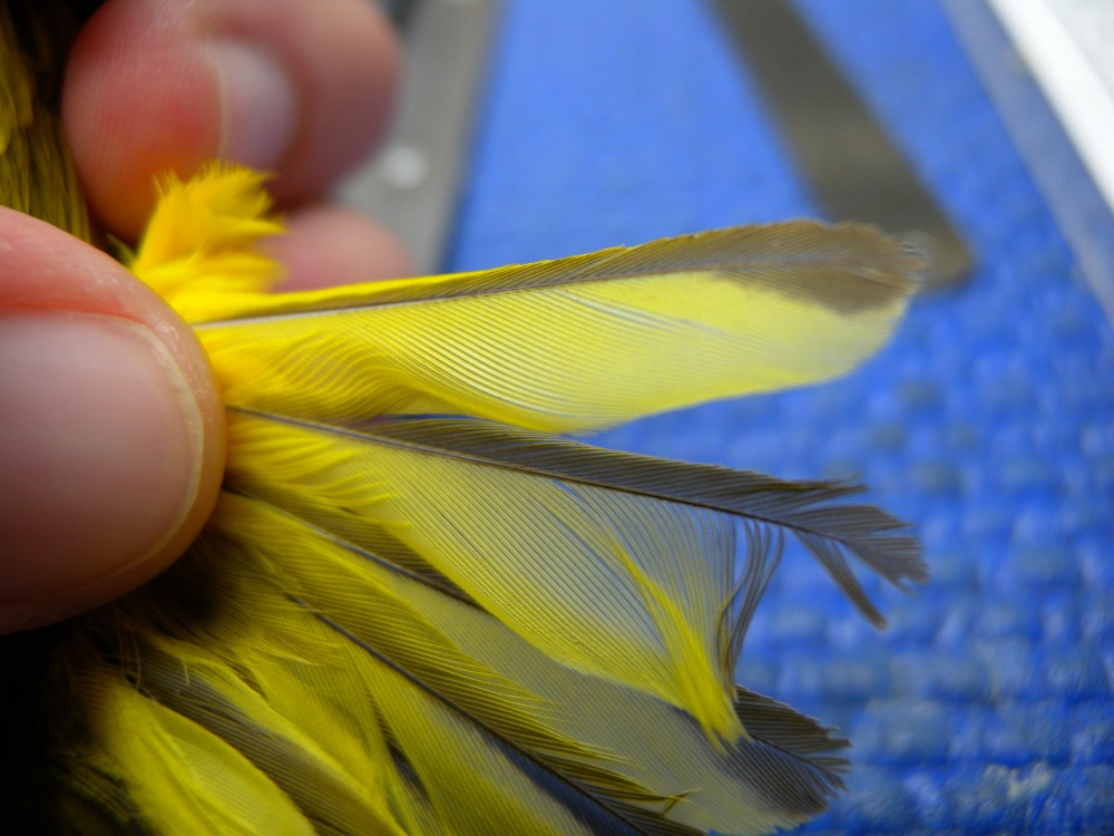 Aging Yellow Warbler by tail edging (This is an After Second Year bird).  Photo by Blake Goll.