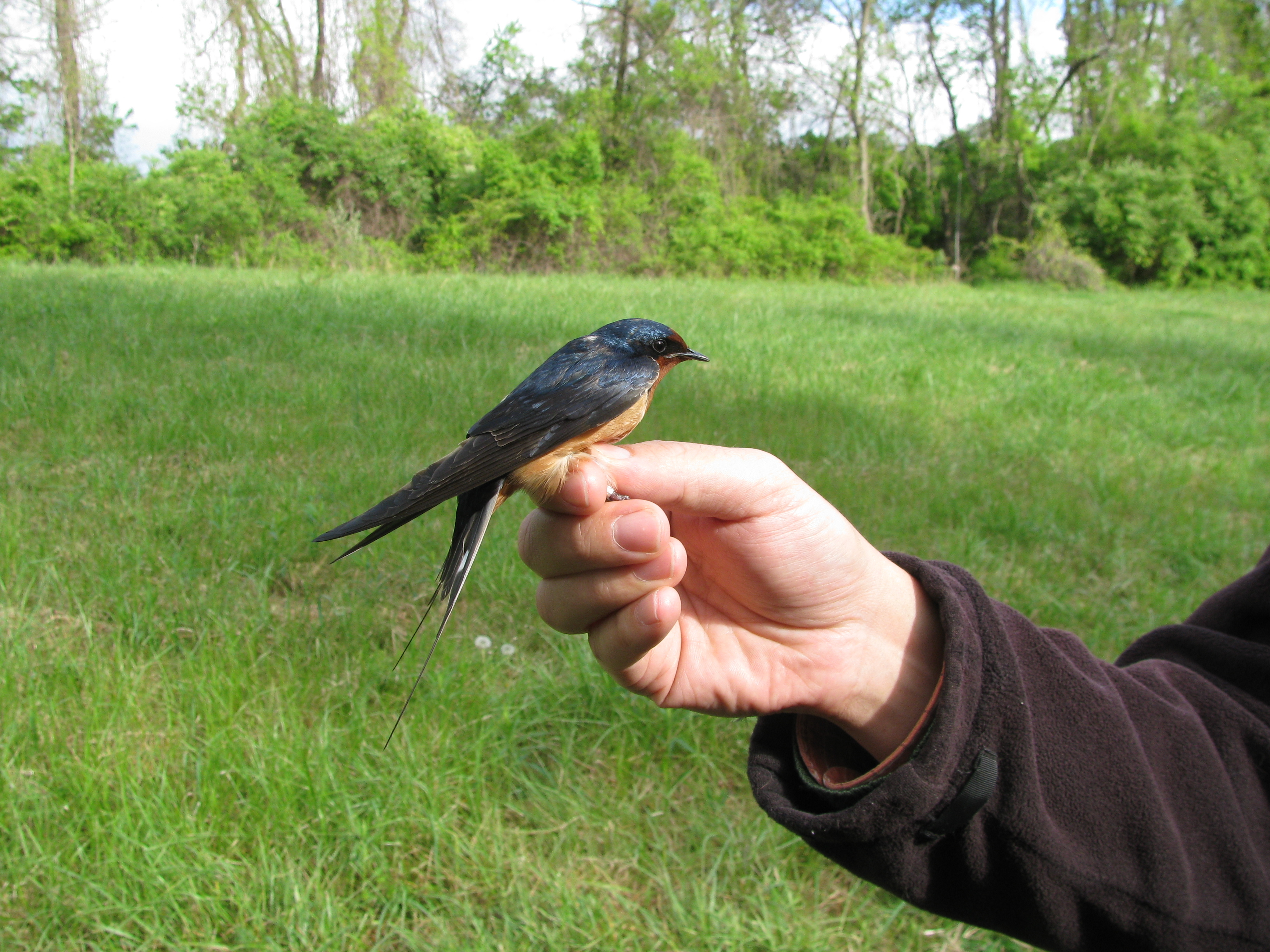 Spring Migration Banding Is Done, Summer MAPS has Begun ...