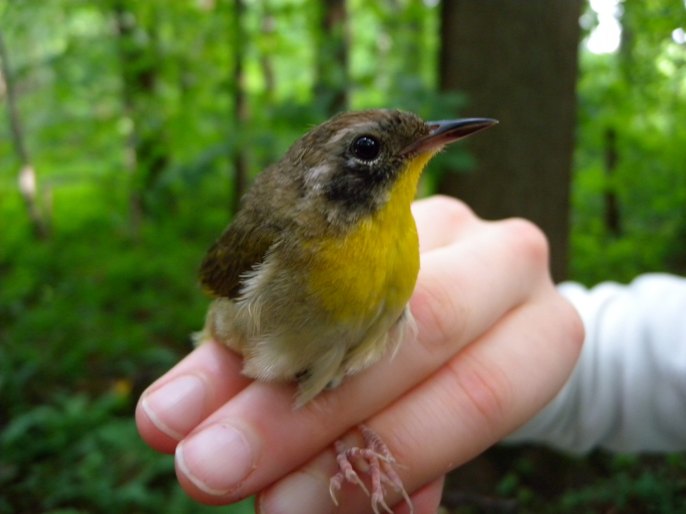 Common Yellowthroat (an older female)