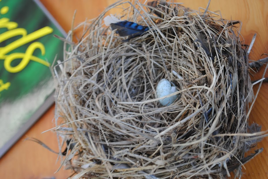 Bluebird nest.  Photo by Gloria Ives