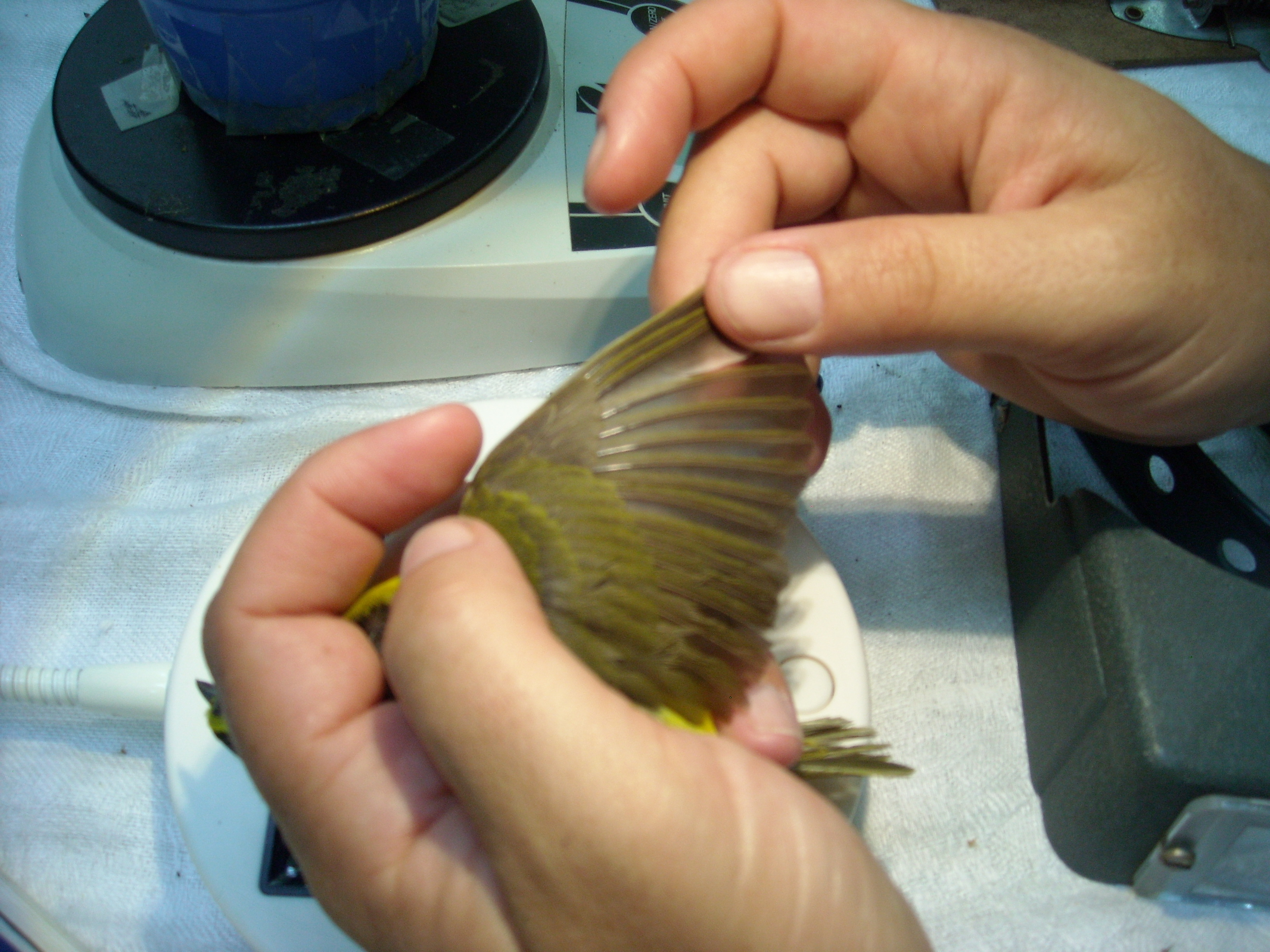 Kentucky Warbler's wing extended