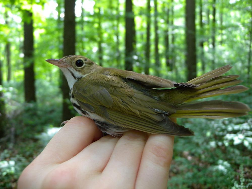 Ovenbird.  Photo by Blake Goll