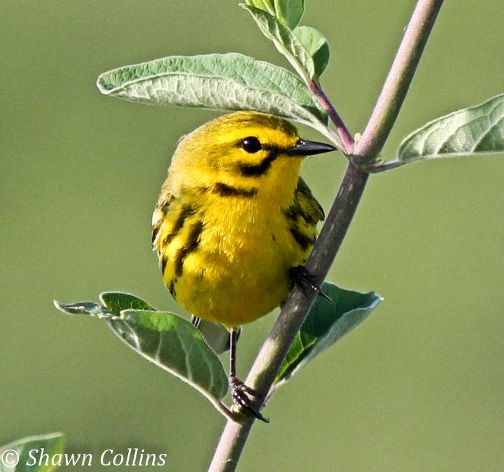 Prairie Warbler. Photo by Shawn Collins, an avid PA birder and photographer! Check out his flickr site:  <http://www.flickr.com/photos/pghdjshawn/>
