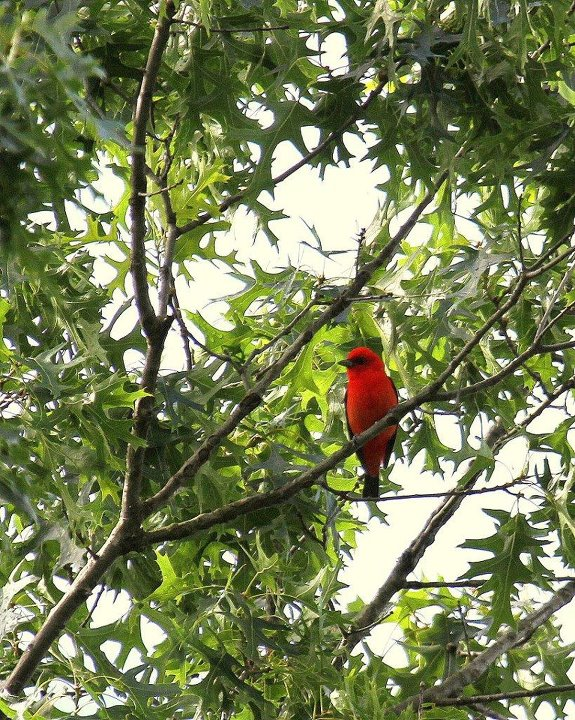 Scarlet Tanager by Brent Bacon