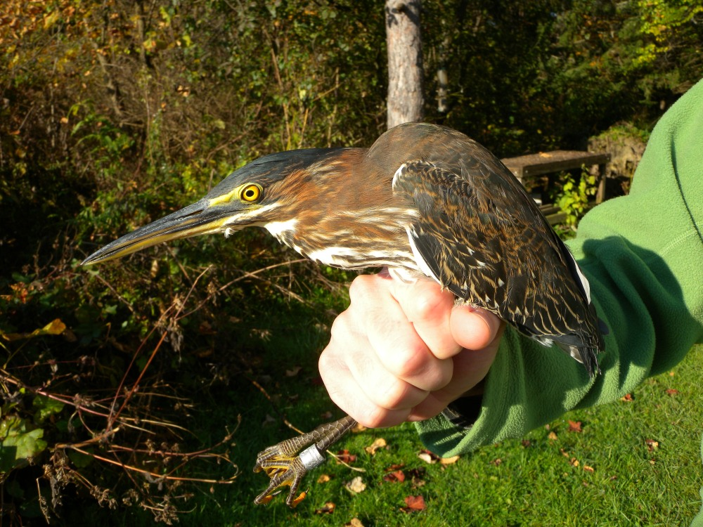 Green Heron at Powdermill Avian Research Center.  Photo by Blake Goll.