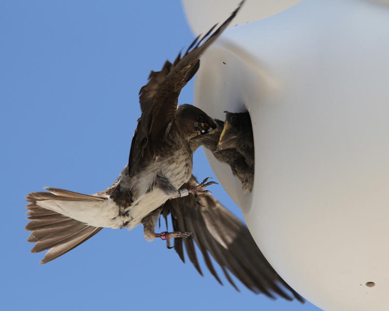Banded Purple Martin adult feeding butterfly to young.