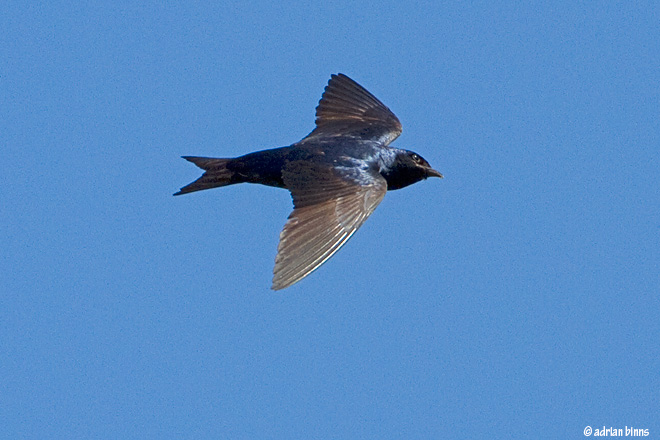 Adult Purple Martin.  Photo by Adrian Binns.