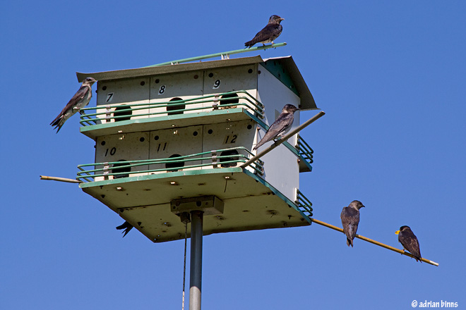 Purple Martins.  Photo by Adrian Binns.