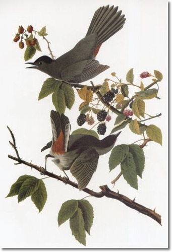 John James Audubon Catbird print.