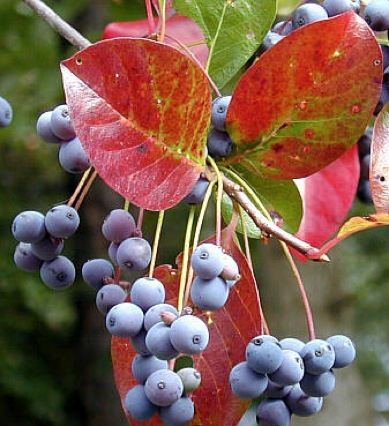 Black Gum berries and fall foliage.  Photo from <http://www.eattheweeds.com>