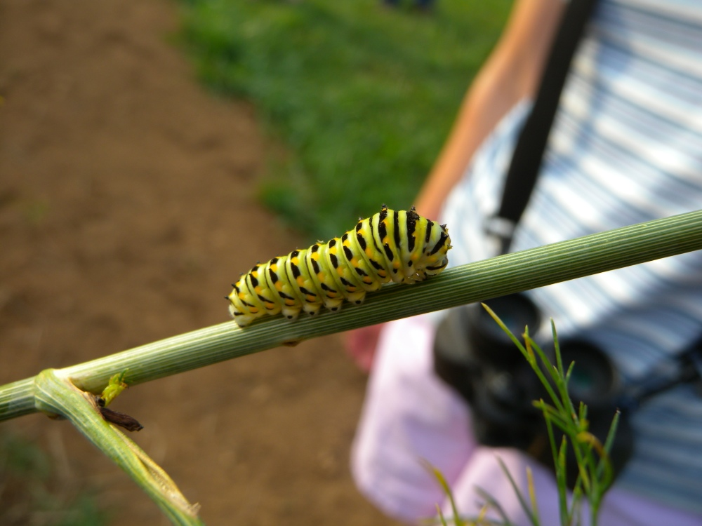 Black Swallowtail Caterpillar on fennel host plant.  Photo by Blake Goll.