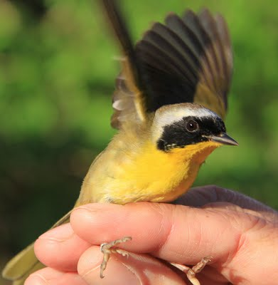 Common Yellowthroat being released after banding.  Photo by Adrian Binns.