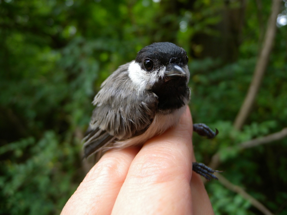 Juvenile Carolina Chickadee.  Photo by Blake Goll.