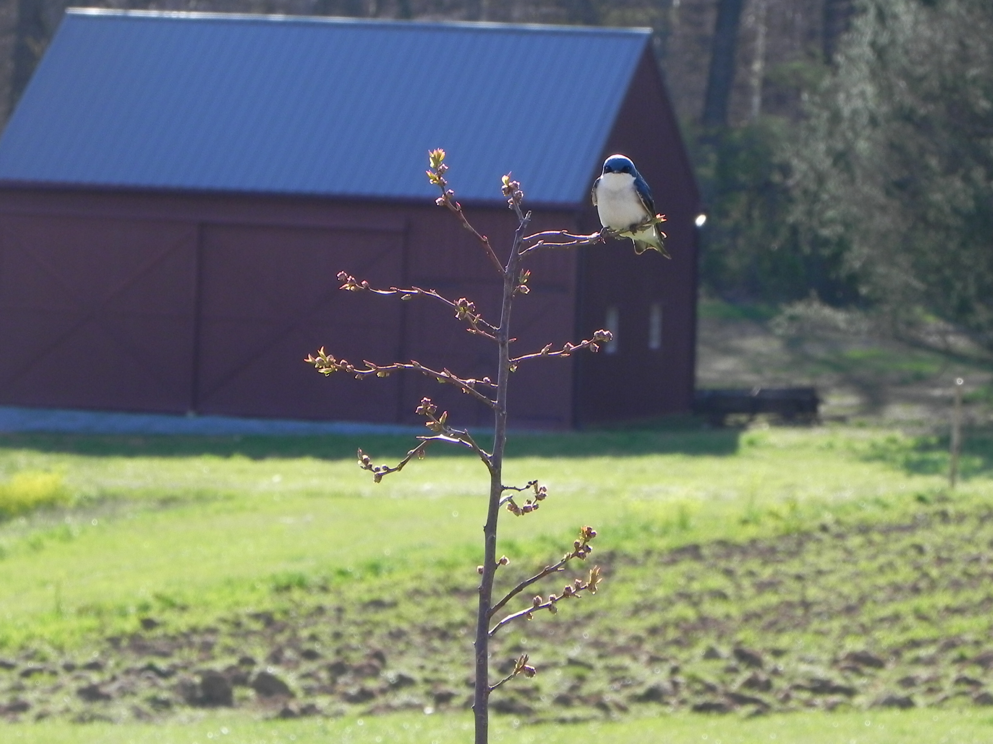 Tree Swallow at Rushton Farm.  Photo by Fred de Long.