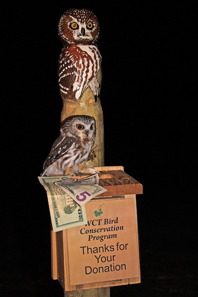 Saw-whet Owl at  donation box.  Photo copyright Adrian Binns.  Note: No owls were compromised during this photo shoot.  They must be held for 10 minutes after banding to be sure their eyes have time to adjust to the darkness again, after which they may be placed on a perch (or donation box) and observed until take off.