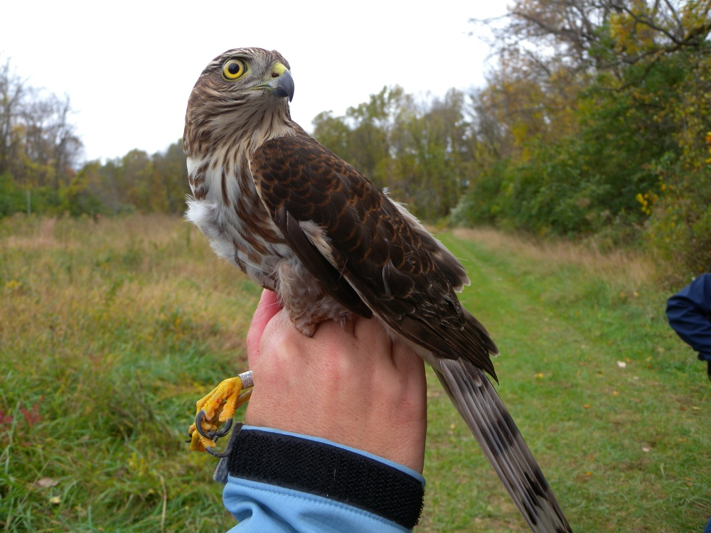 Sharp-shinnned Hawk (Young female) banded at Rushton last fall.  Photo by Blake Goll.
