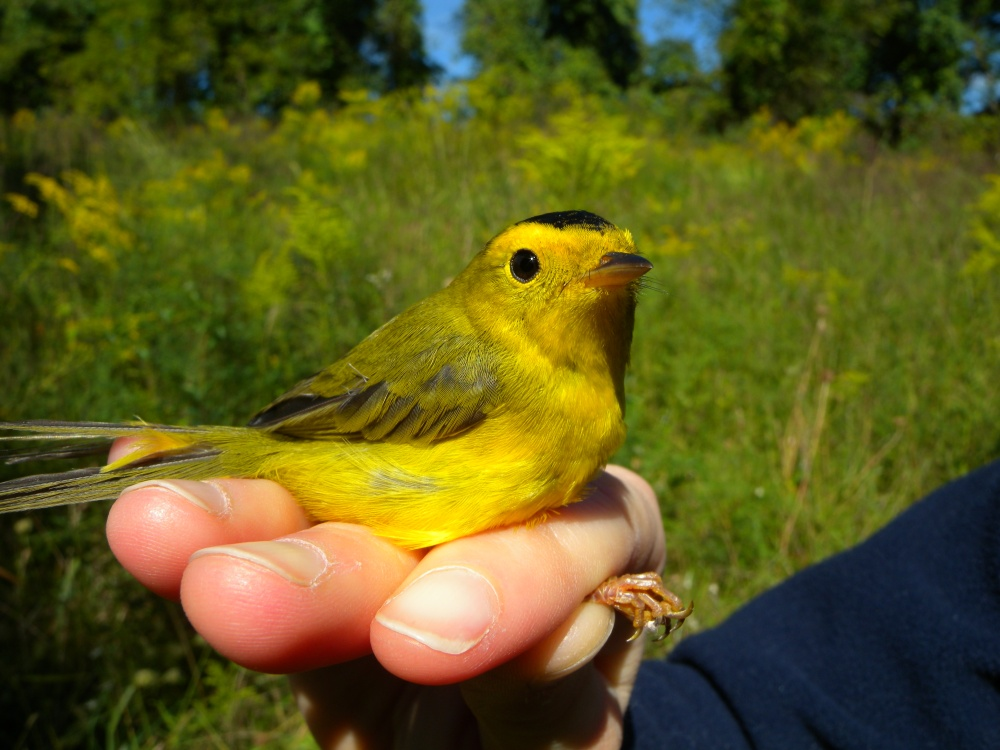 Wilson's Warbler ( an adult male).  Photo by Blake Goll.