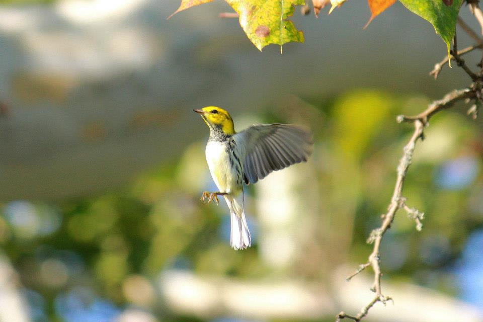 Black-throated Green Warbler. Photo By Mark Moore.