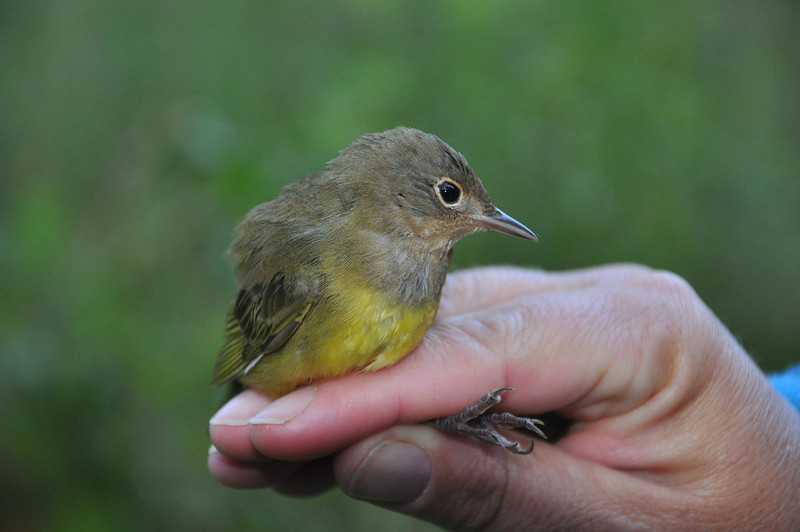 Connecticut Warbler (female).  Photo by Justin Thompson.