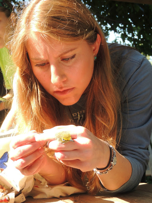 Blake Goll carefully ageing a White-eyed Vireo by its feathers.  Photo by Gloria Ives.