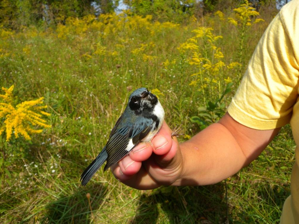 Male Black-throated blue Warbler (hatch year).  Photo by Blake Goll.
