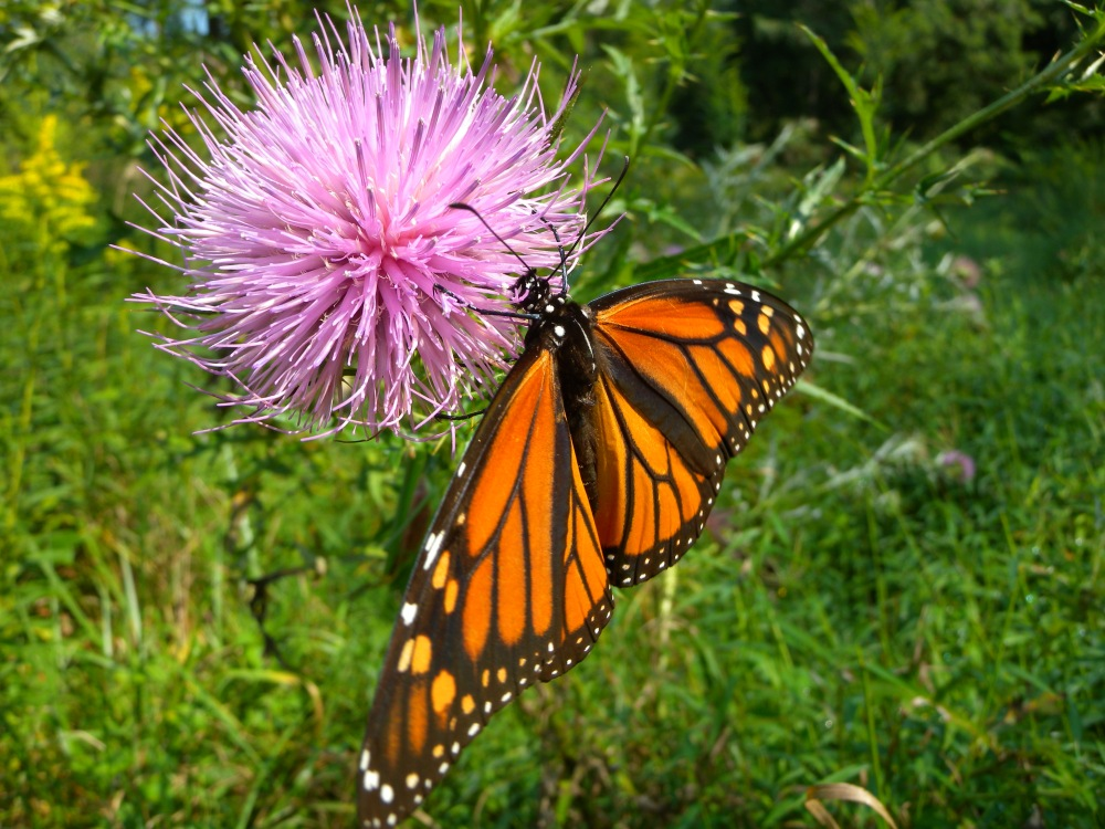 Female Monarch on thistle.  Photo by Blake Goll.