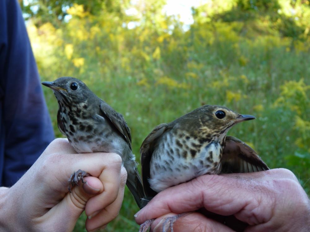 Gray-cheeked Thrush (left) and Swainson's Thrush.  Photo by Mariana Pesthy.