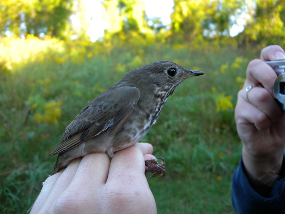 Gray-cheeked Thrush.  Photo by Blake Goll.