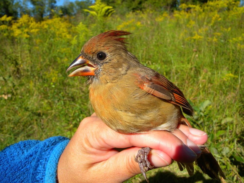 Northern Cardinal (hatch year male).  Photo by Blake Goll.