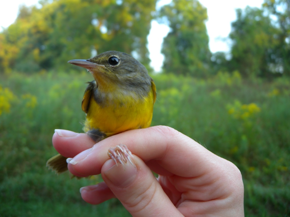 Mourning Warbler (Hatch Year male).  Photo by Blake Goll.