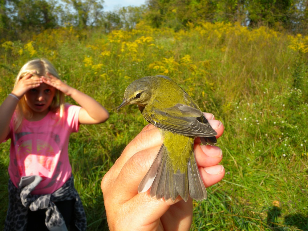 Tennessee Warbler (hatch year).  Photo by Blake Goll.