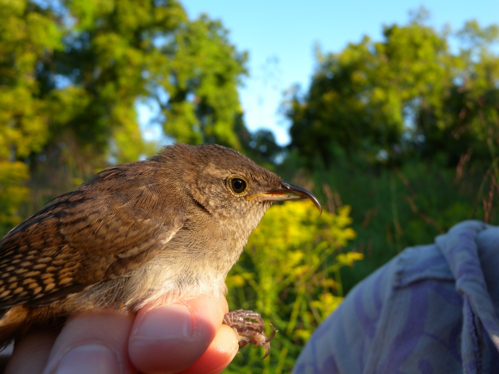 Young House Wren with bill deformity.  Photo by Blake Goll.