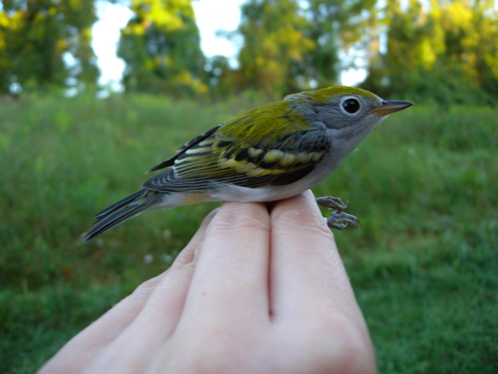 Male Chestnut-sided Warbler (Hatch year).  Photo by Blake Goll.