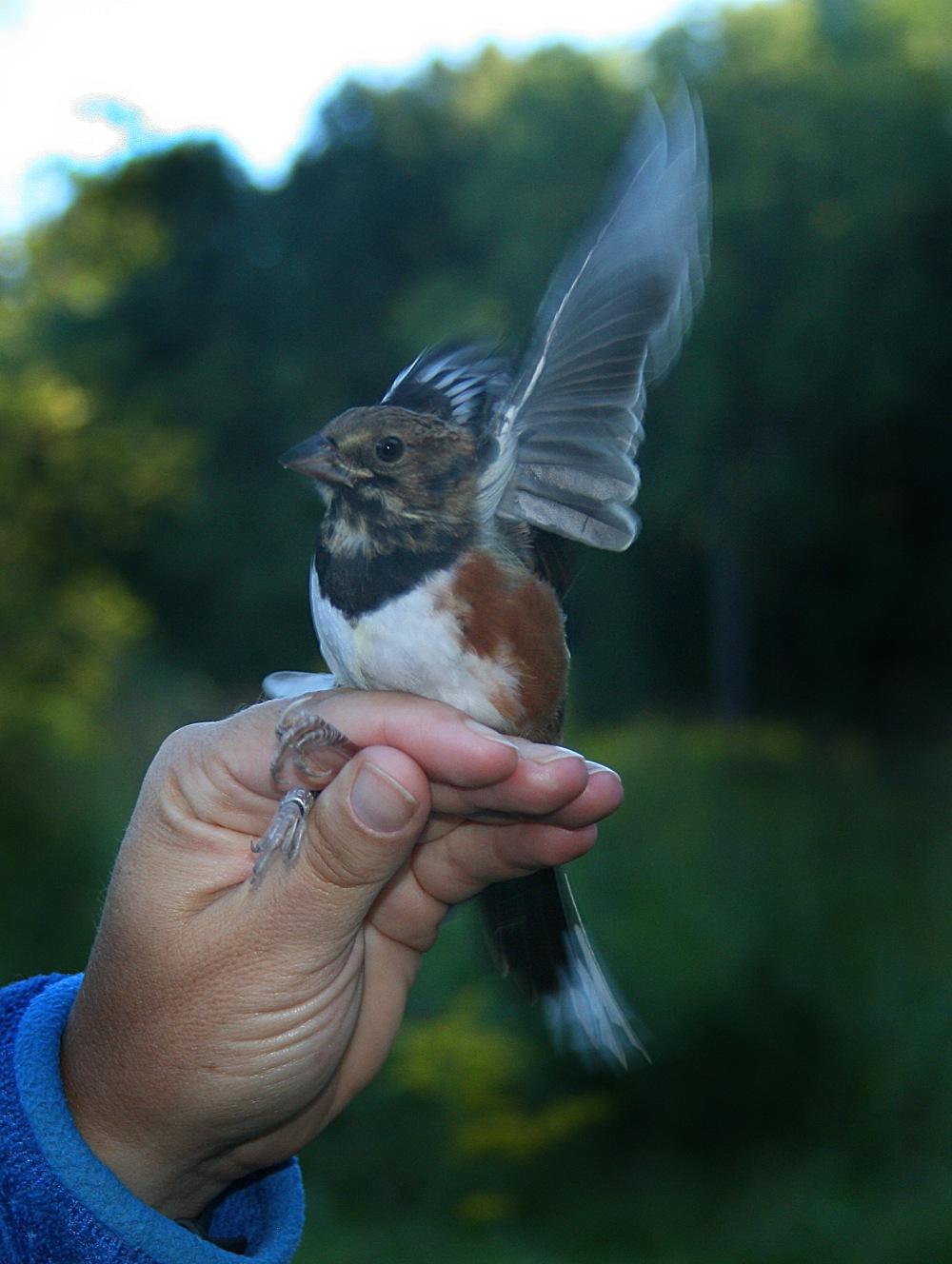Eastern Towhee (hatch year male).  Photo by Bob Pierce.