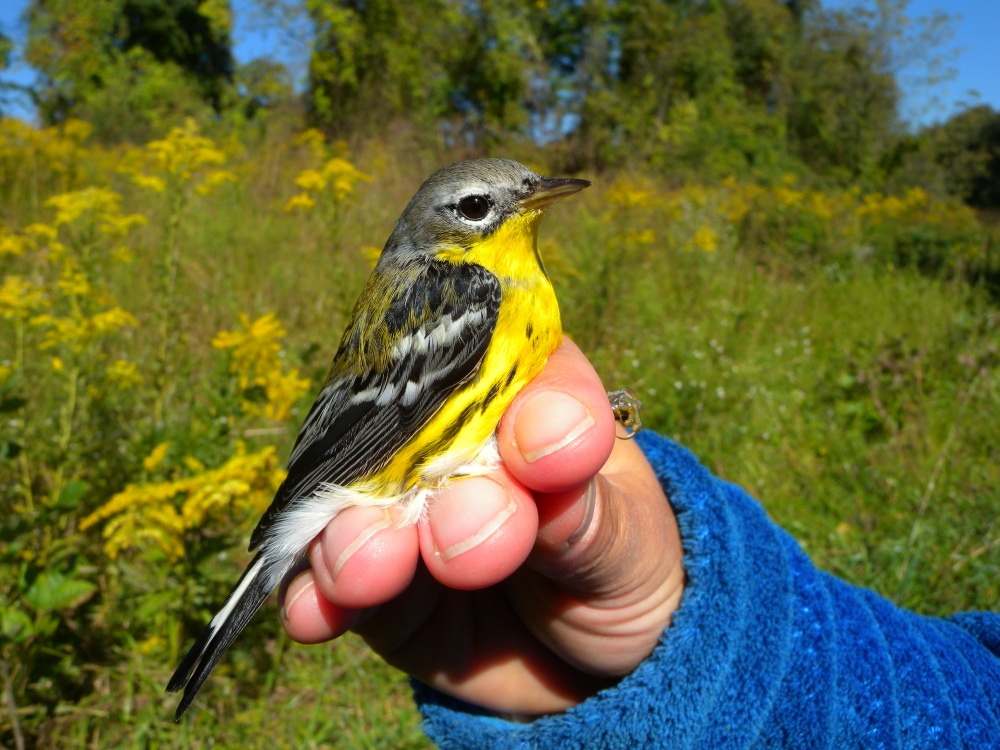 Magnolia Warbler (adult male).  Photo by Blake Goll.