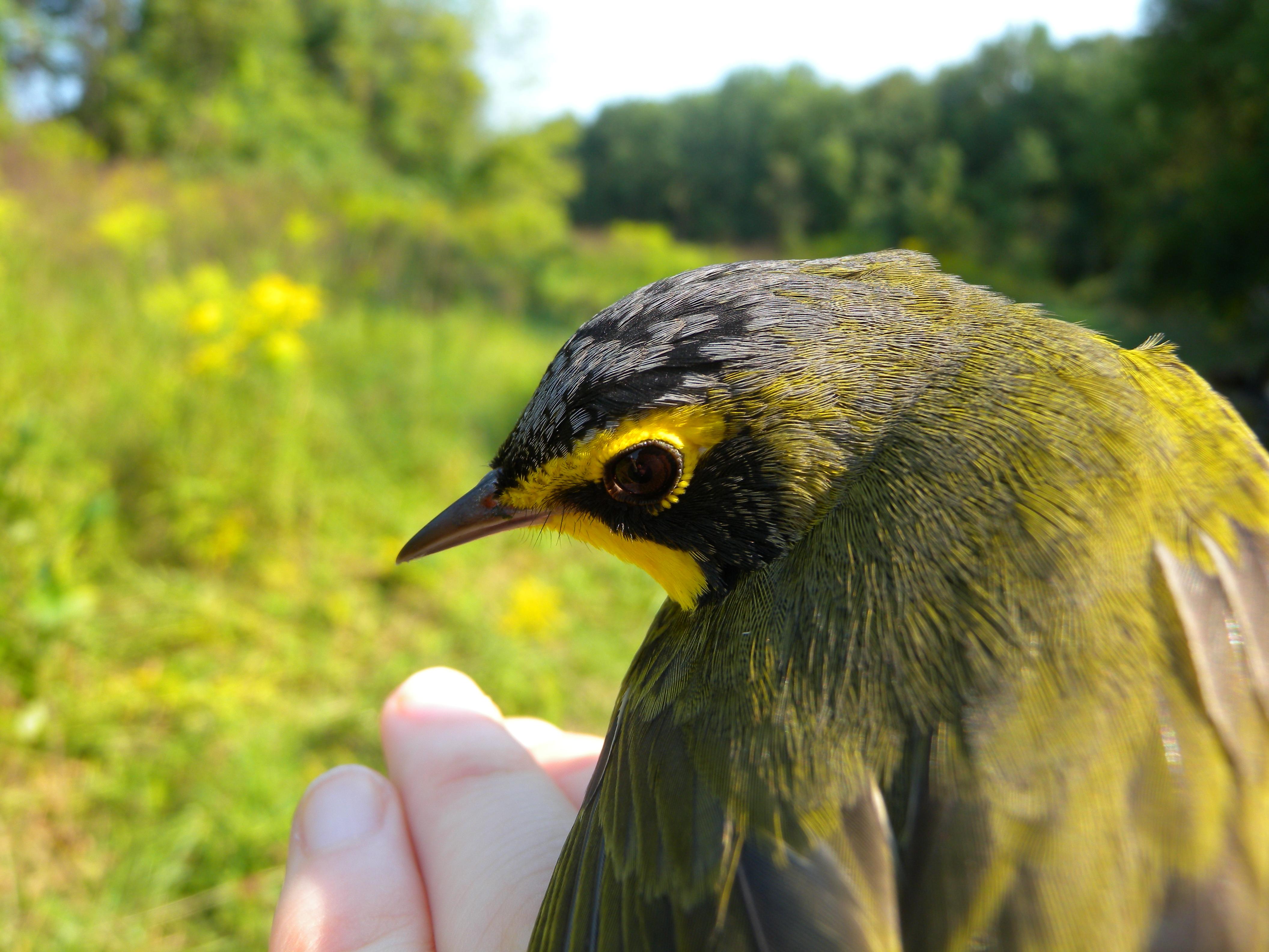 Male Kentucky Warbler close-up.  Photo by Blake Goll.