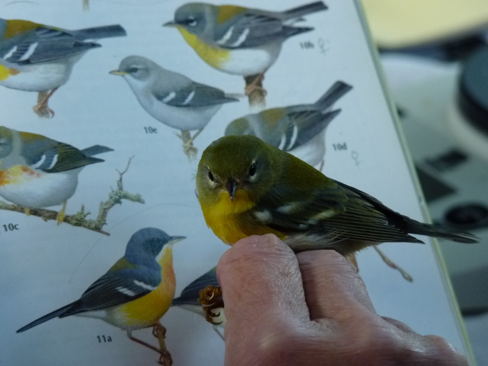 Nothern Parula female.  Photo by Mariana Pesthy.