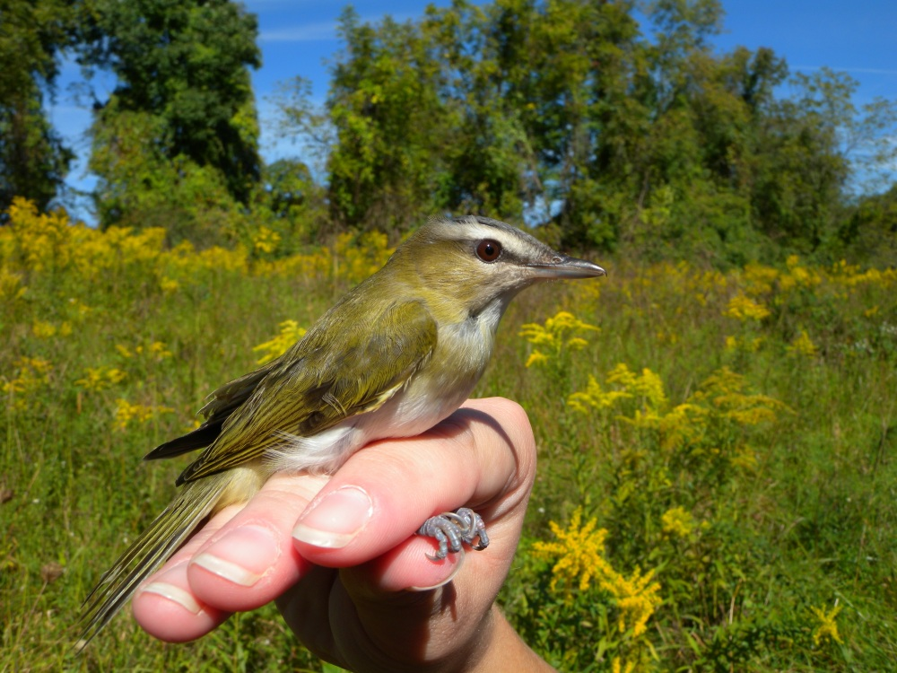 Young Red eyed Vireo.  Photo by Blake Goll.