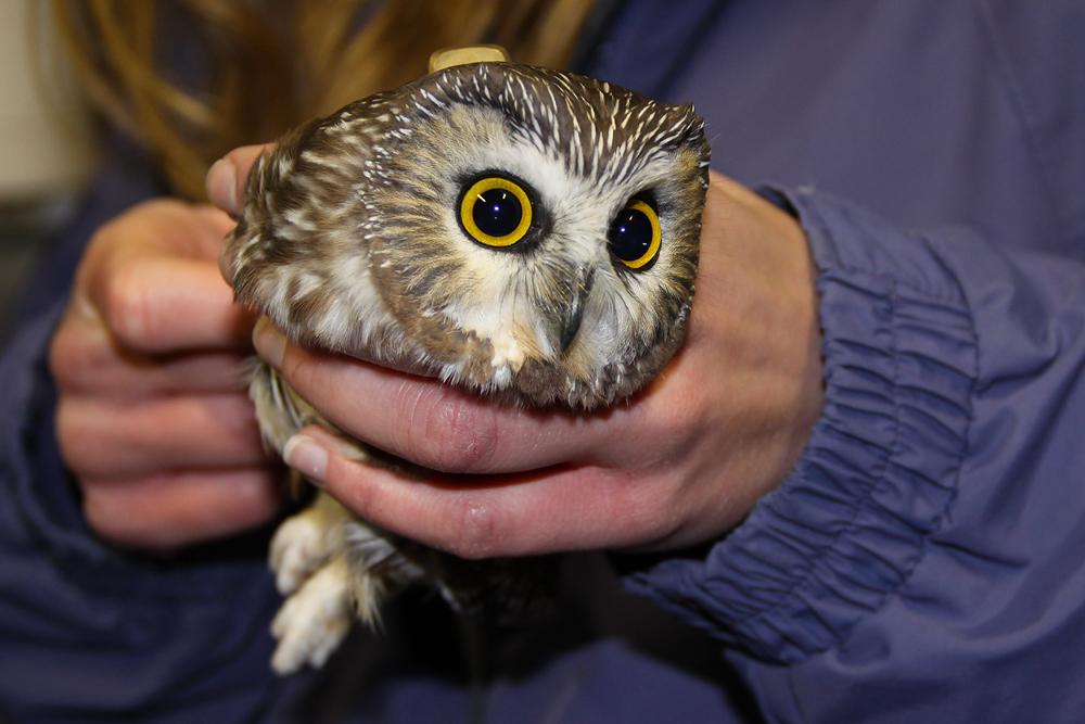 Northern Saw-whet Owl.  Photo by Adrian Binns.
