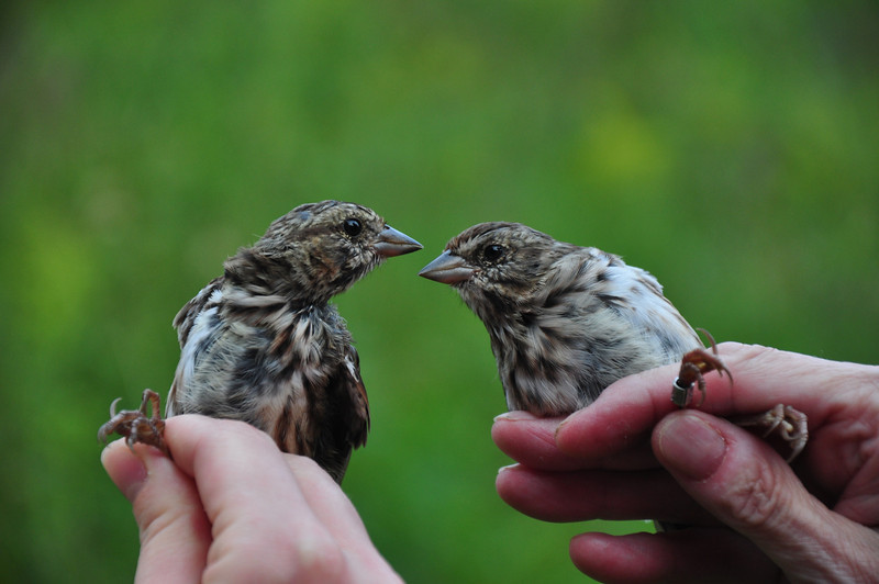 Song Sparrow siblings.  Photo by Justin Thompson.