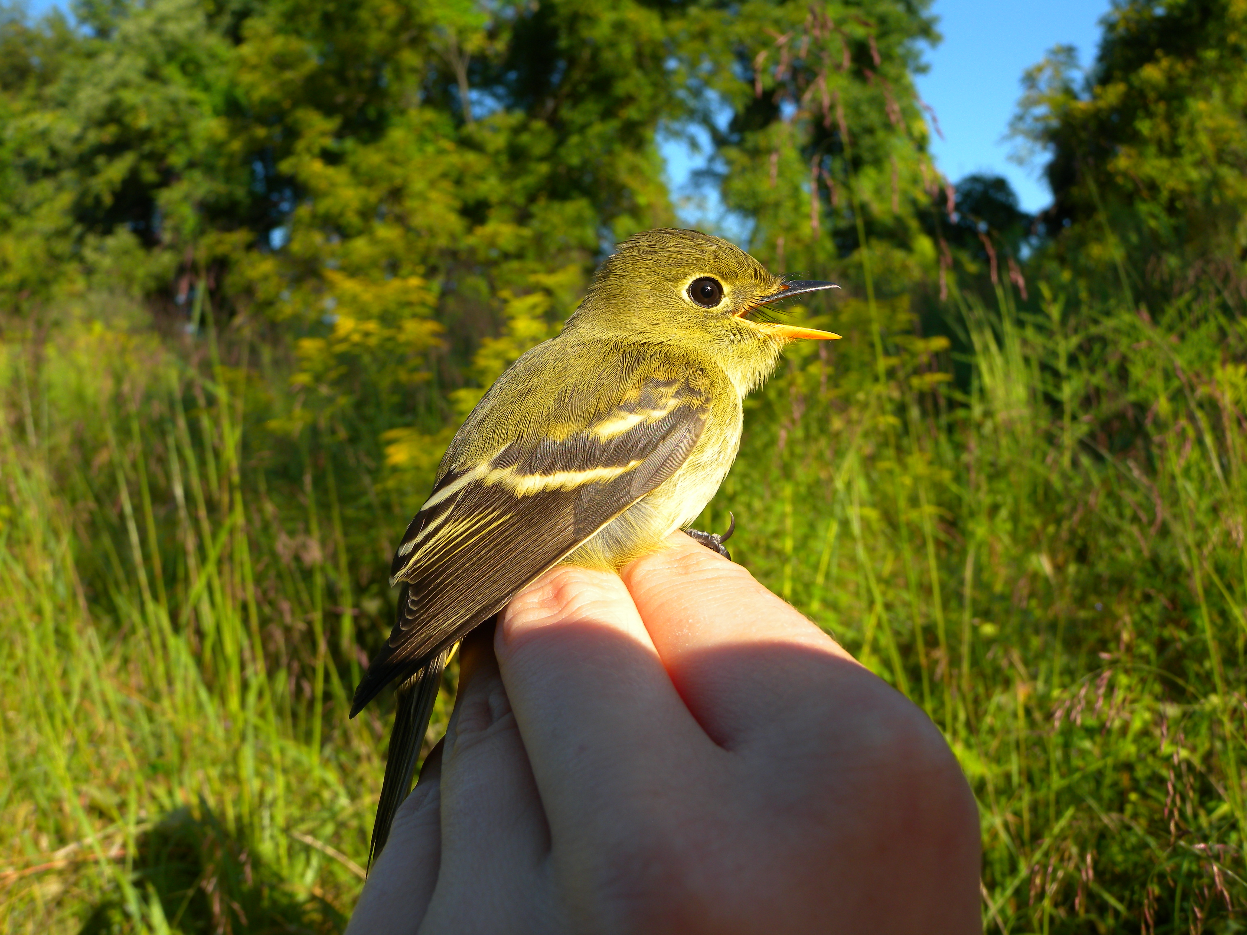 Yellow-bellied Flycatcher (Hatch Year- by yellowish wing bars).  Photo by Blake Goll.