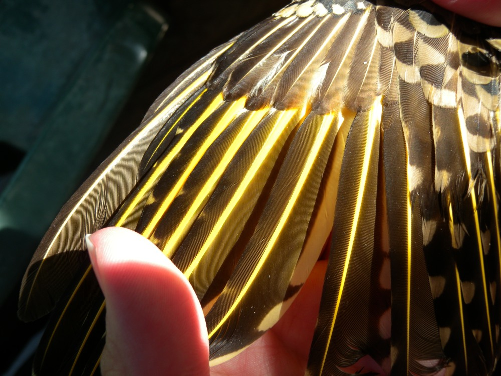 Wing of Yellow-shafted Flicker.  Photo by Blake Goll.