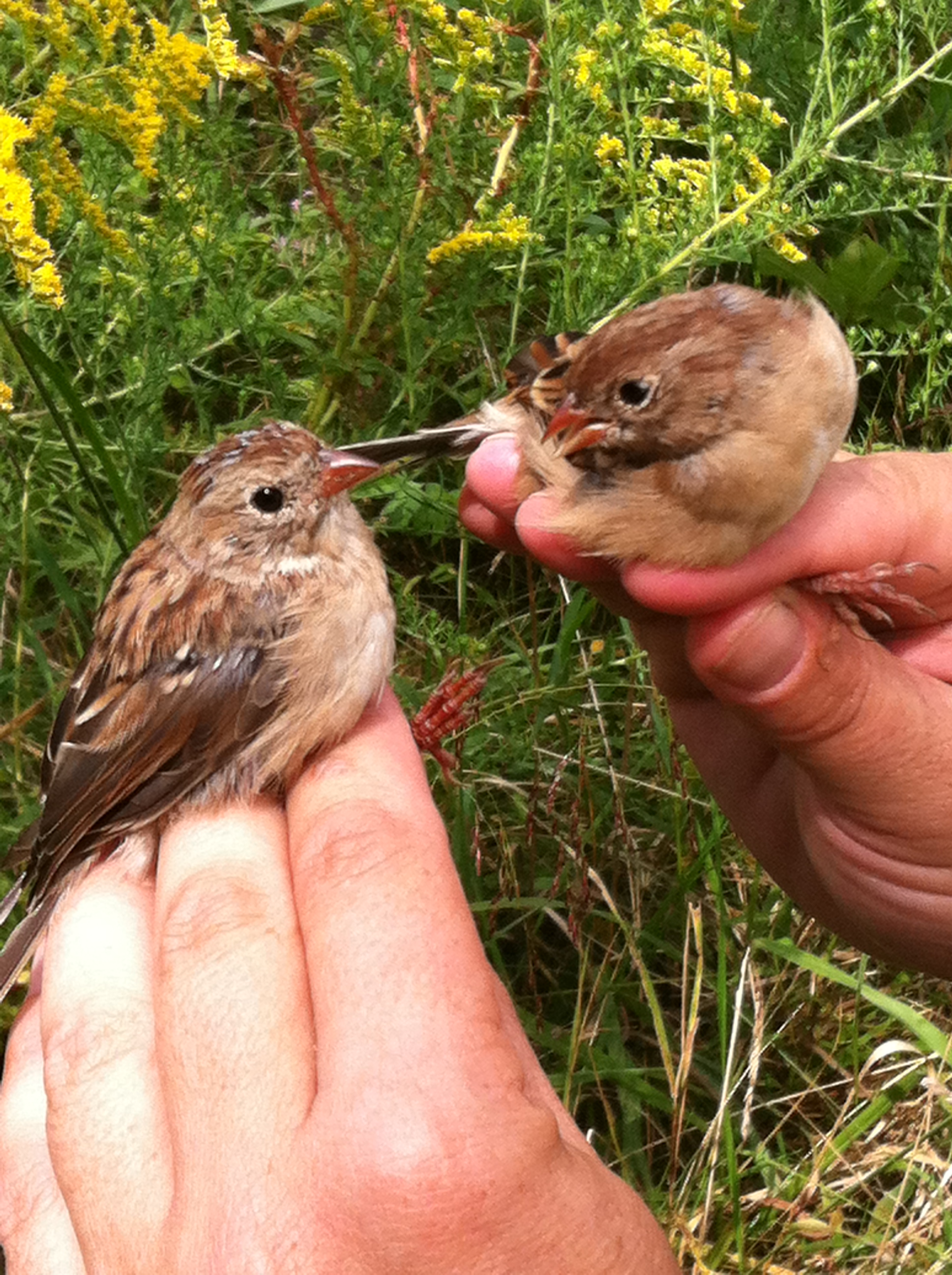 Young Field Sparrow siblings.  Photo by Rebecca Goll