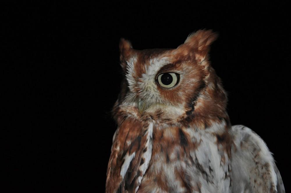 Eastern Screech Owl.  Photo by Justin Thompson