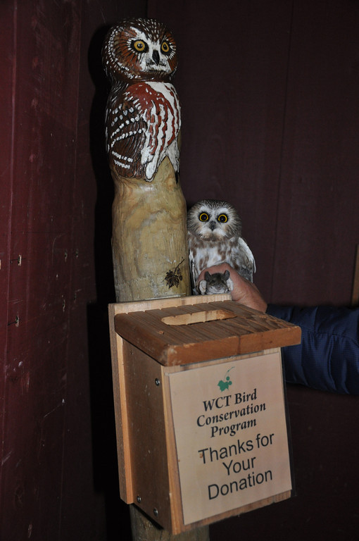 Saw-whet Owl next to donation box (with mouse!).  Photo by Justin Thompson.
