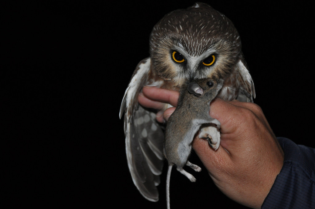 Saw-whet Owl with dead mouse.  Photo by Justin Thompson.