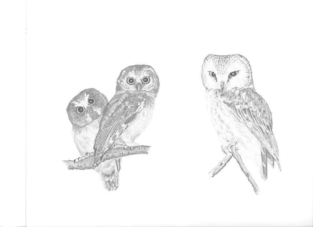 Owl drawings by Adrian Binns.
