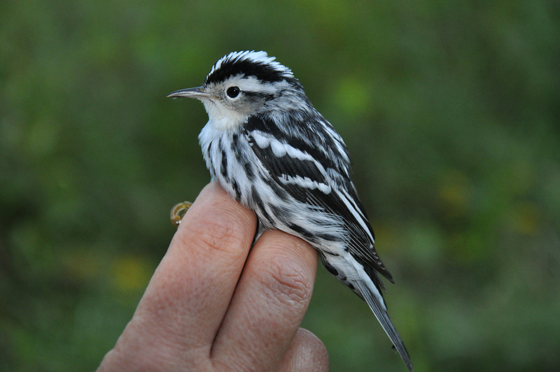 Black-and-white Warbler.  Photo by Justin Thompson.