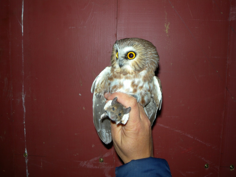 Saw-whet Owl holding tight to his dinner!  Photo by Blake Goll.
